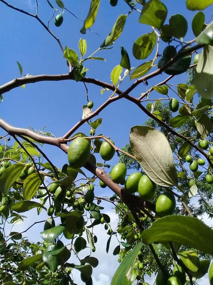 cây táo ra hoa mà không đậu quả