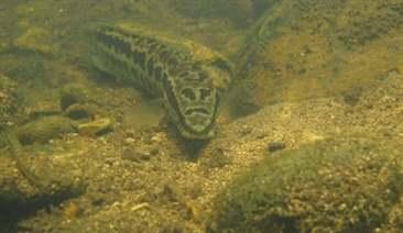 Nuôi cá trê vàng