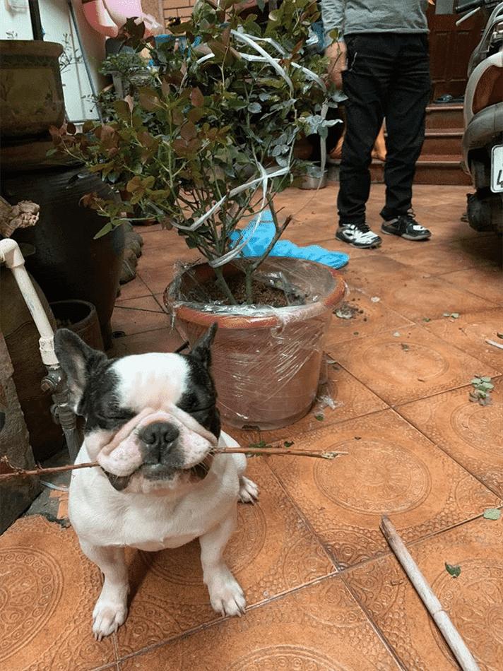 bệnh ho cũi chó
