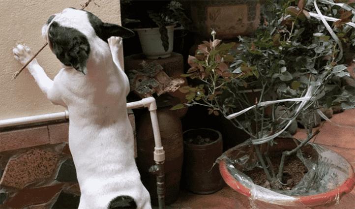 viêm đường sinh dục sùi mào gà ở chó
