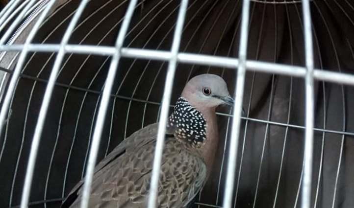 nuôi chim cu gáy
