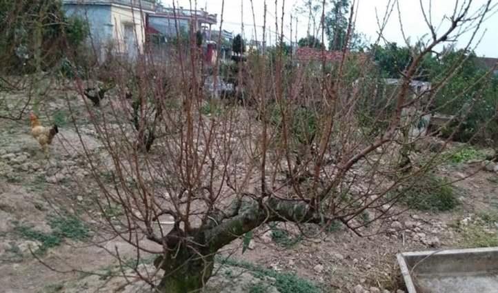 cây đào bị vàng và rụng lá