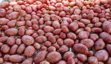 khoai tây nảy mầm