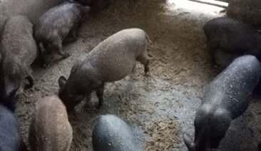 thức ăn cho lợn nái