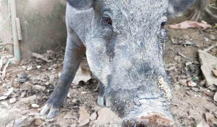 dấu hiệu lợn sắp đẻ