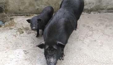 lợn nái cứ sau khi đẻ lại bỏ ăn