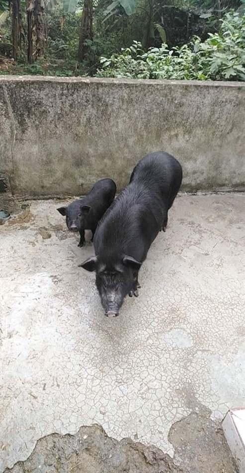 lợn không cho con bú