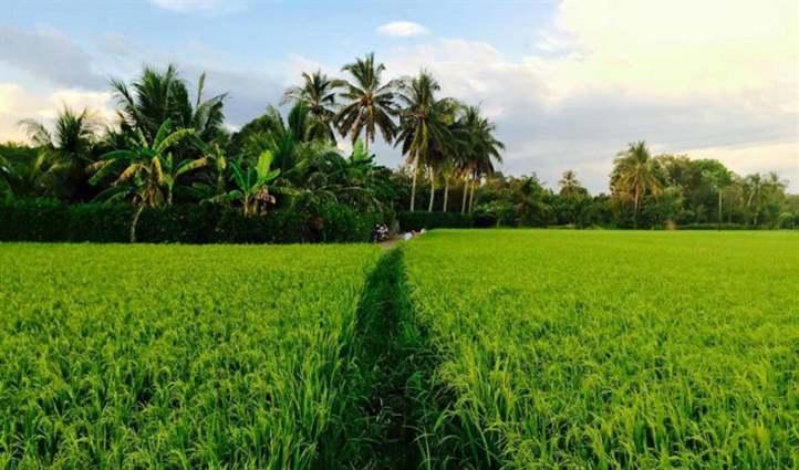 diệt trừ rong rêu và bèo trên ruộng lúa