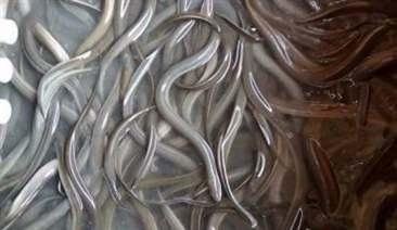lươn bị tuột nhớt