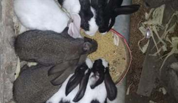 phối trộn thức ăn từ bã bia cho thỏ