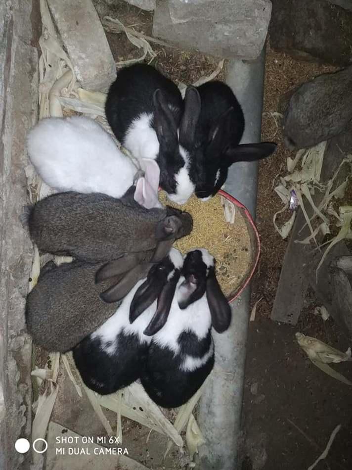 thỏ mẹ cắn thỏ con sau sinh