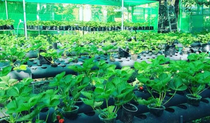 Cây dâu tây thối rễ