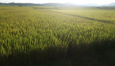 cây lúa có nguồn gốc từ đâu