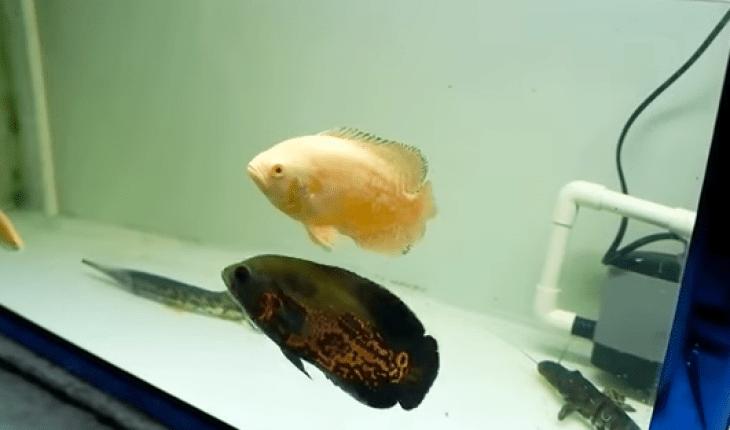 kỹ thuật nuôi cá tai tượng