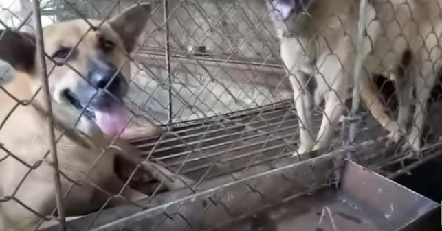 kỹ thuật nuôi chó thịt