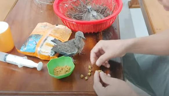 Cách nuôi chim cu gáy non
