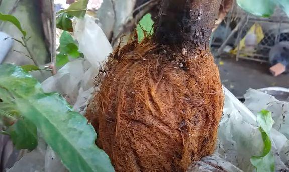 Cành chiết đủ rễ