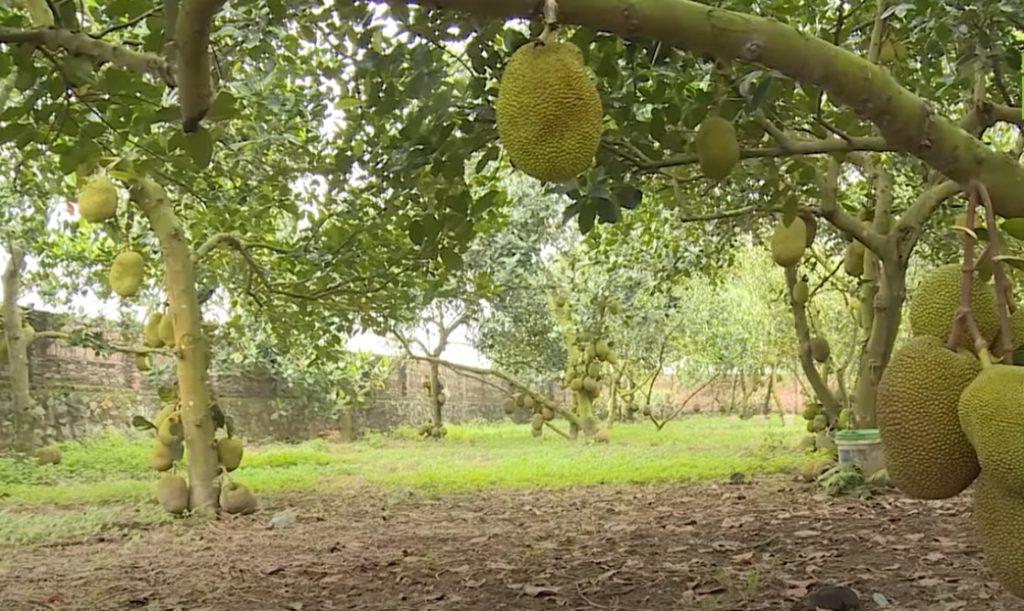 Cách làm mít ra quả, làm thế nào để cho mít ra quả ở thân cây?