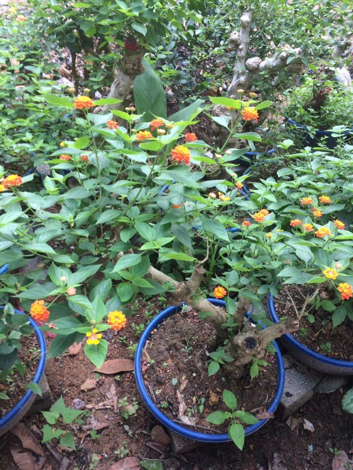 hoa ngũ sắc dùng làm cảnh