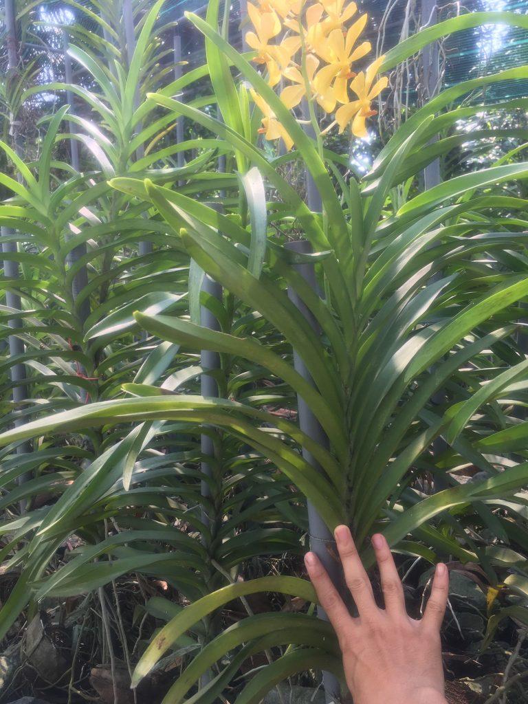 Cọc cho lan Mokrara