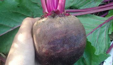 Cách trồng củ dền