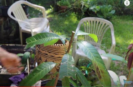 Cắt gốc ghép cây
