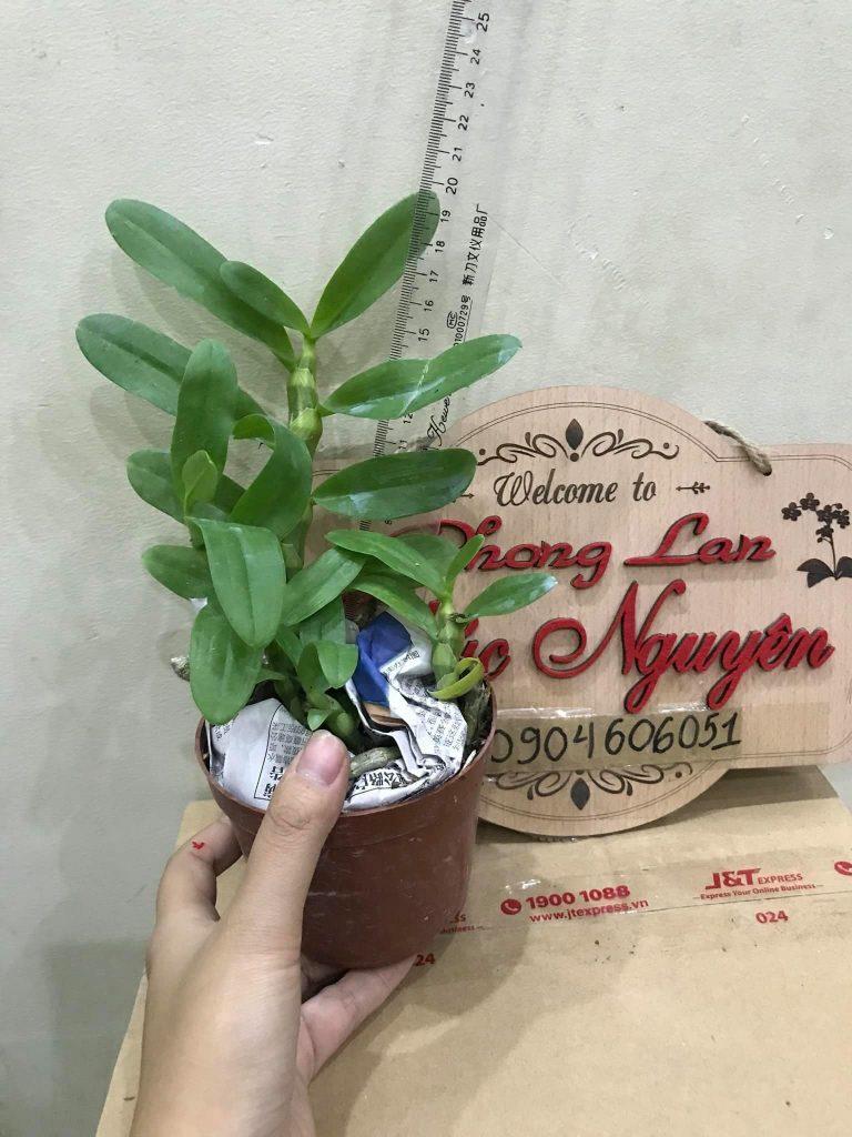 Cây giống phong lan trầm tím