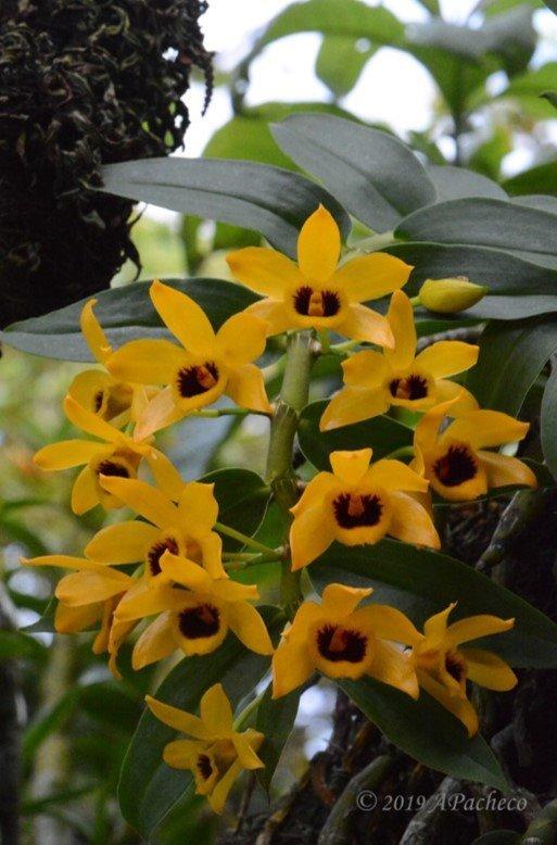 Phong lan trầm vàng