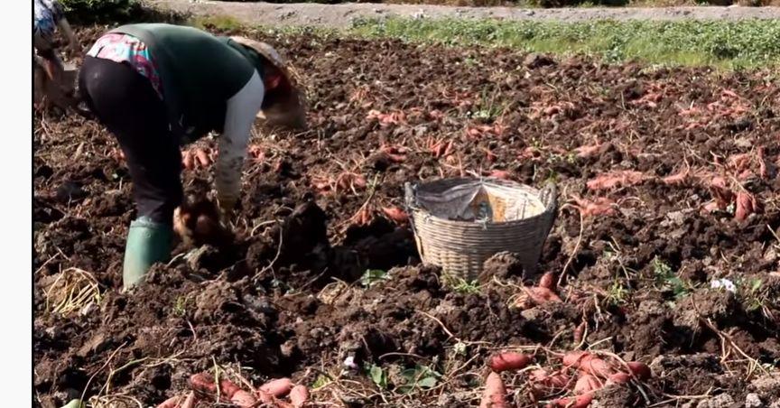 cách trồng khoai lang