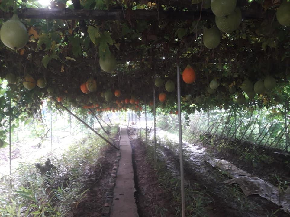 kĩ thuật trồng gấc