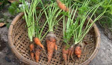 trồng cà rốt bằng củ