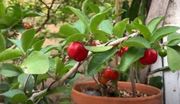 trồng sơ ri trong chậu