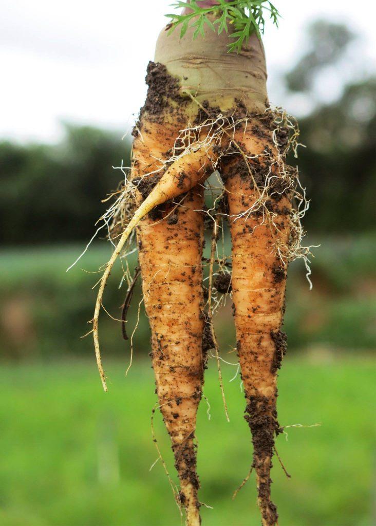 cách trồng cà rốt cho năng suất cao