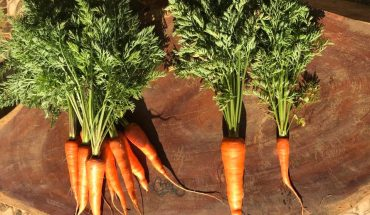 củ cà rốt sau khi thu hoạch