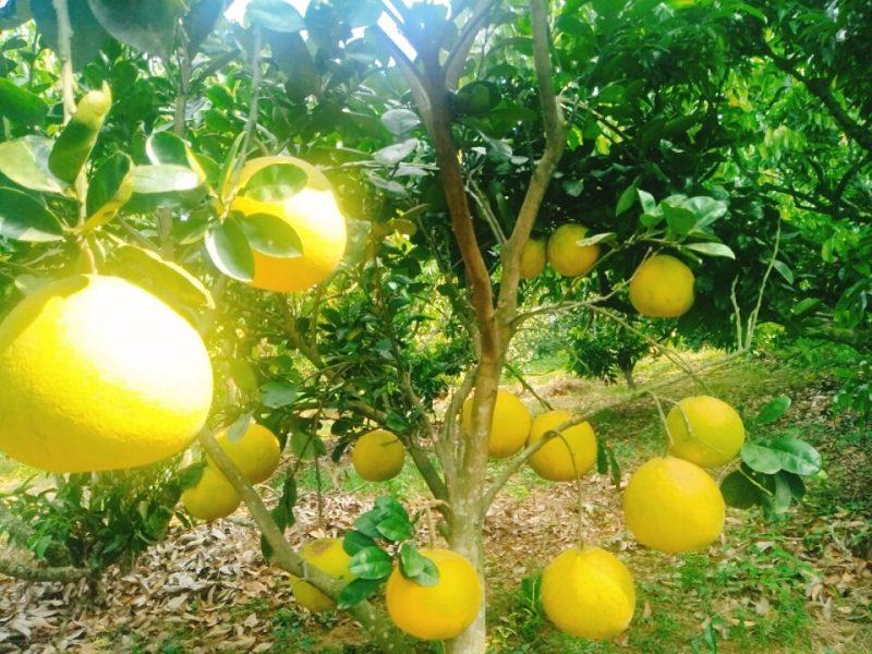 Cách trồng bưởi diễn