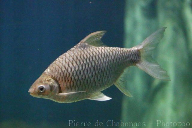 Cách nuôi cá mè Vinh