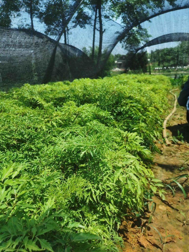 Cách trồng cây đinh lăng