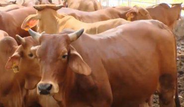 Kỹ thuật nuôi bò thịt nhốt chuồng, cách nuôi bò thịt mau lớn