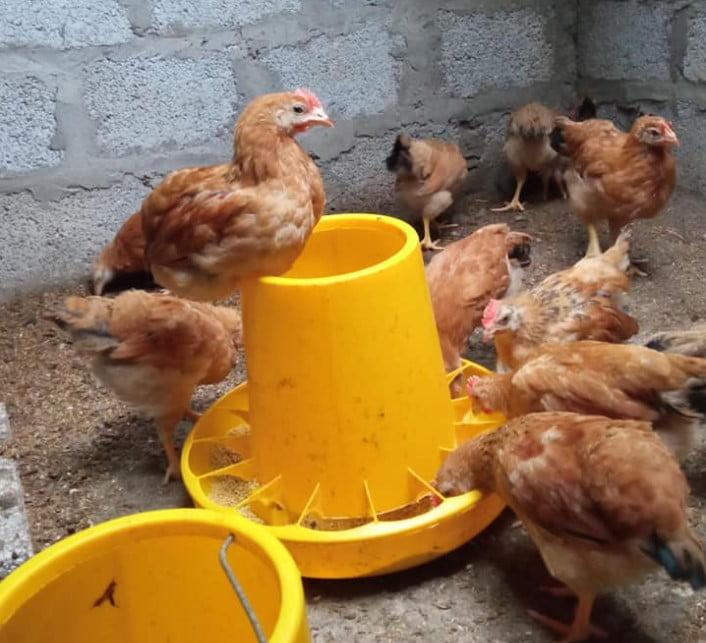 """Bí quyết nuôi Gà Ri đẻ trứng để thu """"lợi nhuận tối đa"""""""