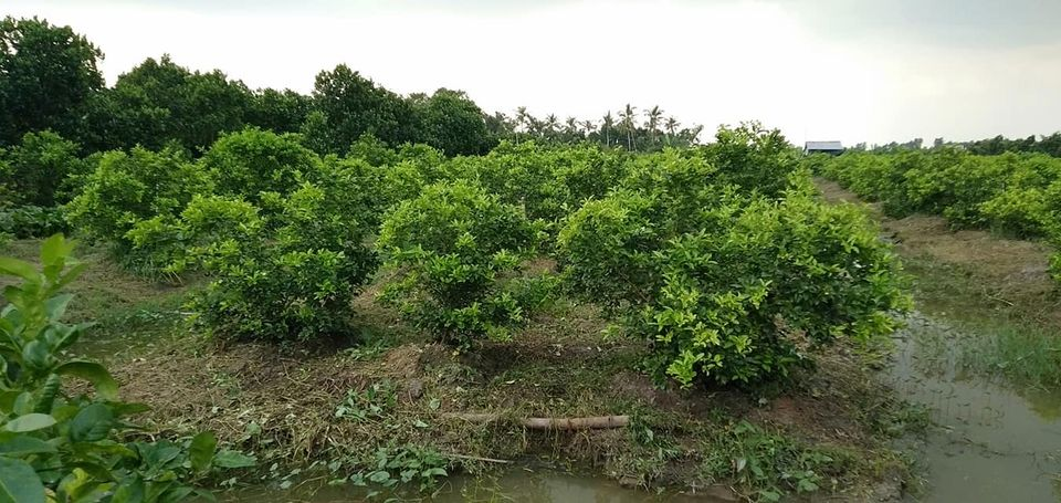 Kỹ thuật trồng Chanh