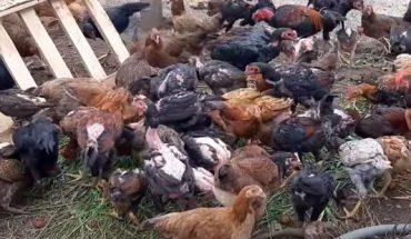 trộn thức ăn cho gà vịt