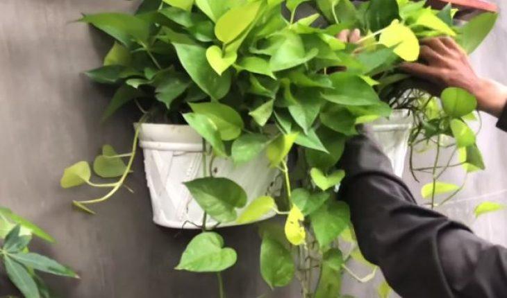 trồng cây dây leo trong nhà