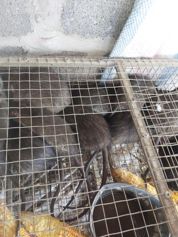 chuột cống nhum