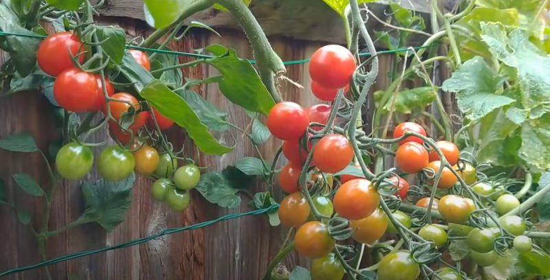 """9 nguyên nhân """"rụng hoa cà chua"""" & phương pháp kiểm soát hiệu quả"""