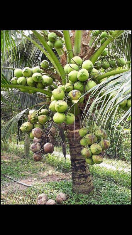 Các bệnh thường gặp ở cây dừa