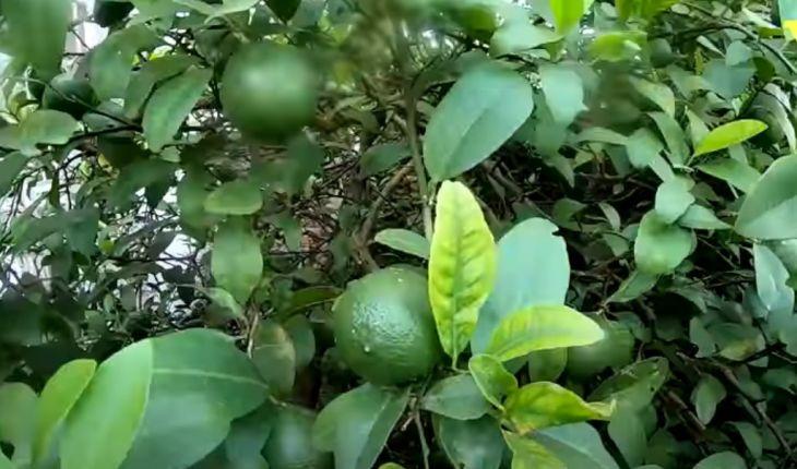 """Cách trồng chanh """"sai quả"""" cực đơn giản"""