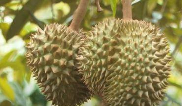 """Kỹ thuật trồng sầu riêng """"siêu lợi nhuận"""" bạn cần biết!"""