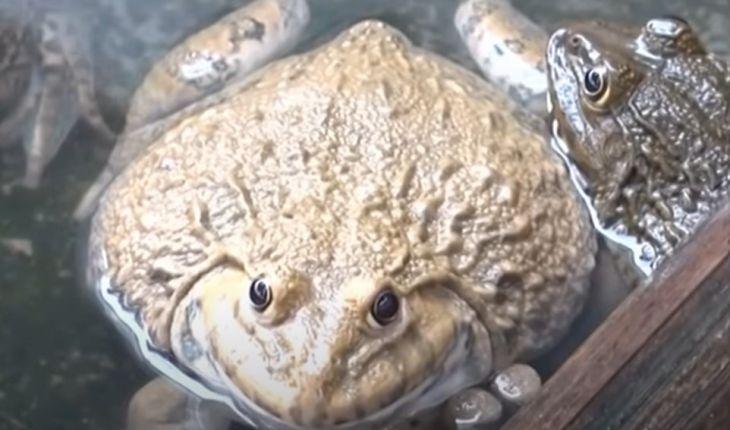 """Kỹ thuật nuôi ếch đạt 'năng suất cao"""""""