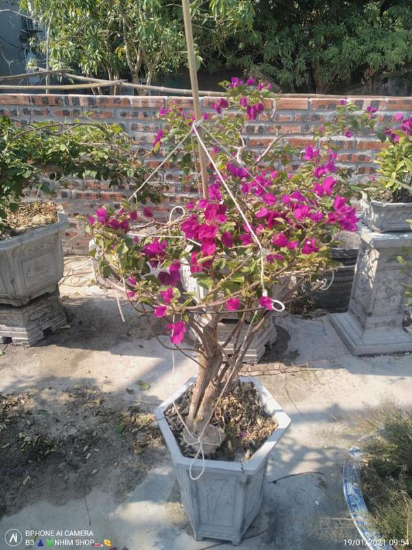 Cách trồng hoa giấy bonsai
