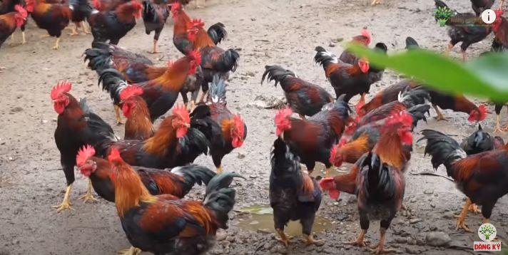 Các giống gà thịt: gà mía